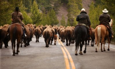 Workers with the Interagency Bison Management Plan in 2010 herded bison that had wandered astray back within the confines of Yellowstone National Park. Photo Credit: Nicole Bengiveno/The New York Times