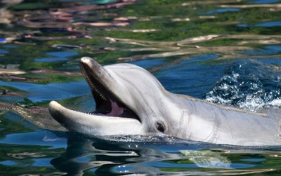 Bottlenose dolphins are just one of the species of animals that  utilize advanced forms of communication. Photo Credit: Ecorazzi