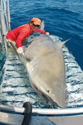 Dr. Hammerschlag navigates a bull shark back to the water post tagging. Photo Credit: Emma Smith