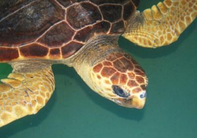 Two-bit rehabilitates after a harsh winter. Photo Credit: National Aquarium
