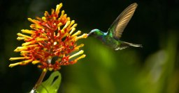 Hummingbirds are just one of the animals that rely on a special bond they share with flowers. Photo Credit: Wings of Life