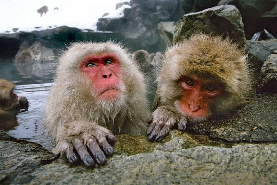 Macaques in the middle of a tribe's hierarchy tend to be more stressed. Photo Credit: Tim Laman, National Geographic
