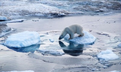 Polar bears continue to feel the effect of multiple pressures on their environment. Photo Credit: WWF