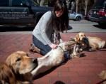 therapy golden retrievers in boston
