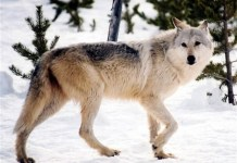 An image provided by Yellowstone National Park, Mont., shows a gray wolf in the wild.
