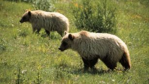 Watch bears roaming the plains of Yellowstone National Park. Photo Credit: Austin-Lehman Adventures