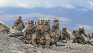 See the iguanas indigenous to the Galápagos Islands. Photo Credit: Austin-Lehman Adventures