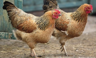 The USDA has green-lighted the sale of Chinese processed American chicken. Photo Credit: U.S. Department of Agriculture