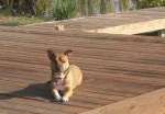 Dog Photobomb