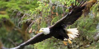 Alaskan North American Endangered Bird Bald Eagle