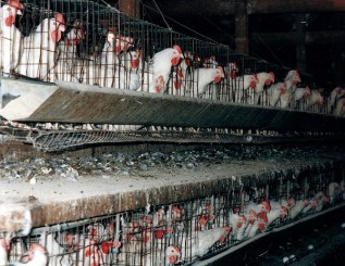 (ANIMAL ABUSE)Chickens in battery cages. Photo credit: www.veganoutreach.org