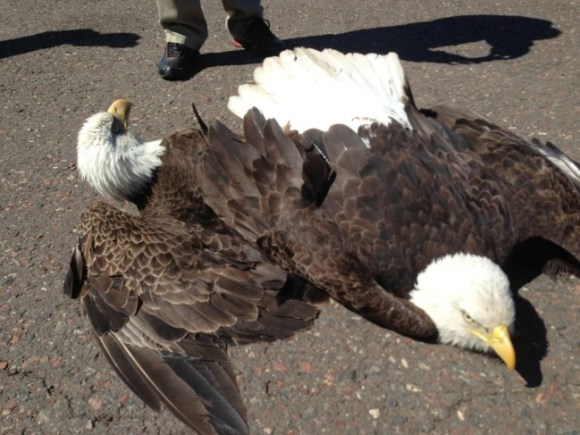 Two eagles fighting over territory crashed to the ground at Duluth International recently, both survived. Photo Credit: Randy Hanzal