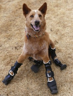 Naki'o has become the first dog to have a complete set of bionic paws. Photo Credit: Reuters