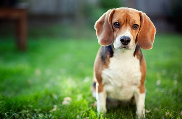 Canines exposed to lawn chemicals may have a higher risk of bladder cancer. Photo Credit: iStockphoto