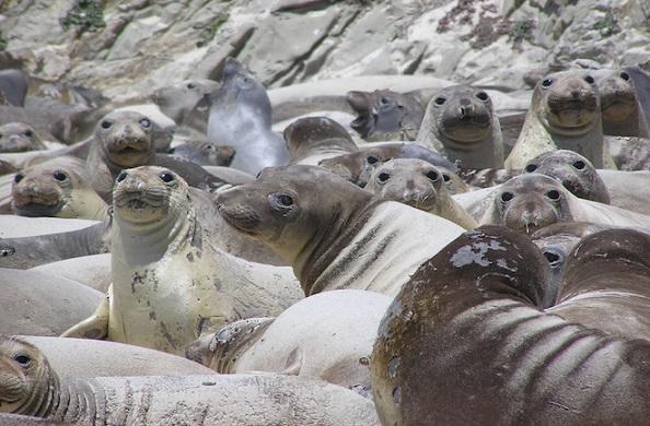 H1N1 has been found in a seal population. Photo Credit: Tracey Goldstein, UC Davis