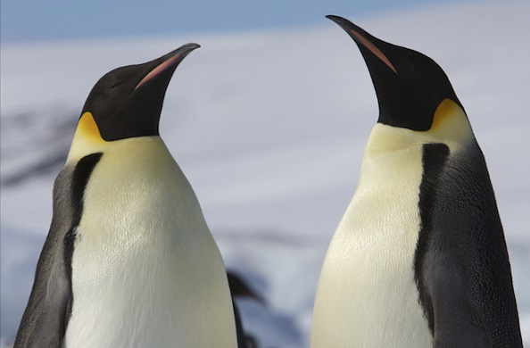 A new study explains why penguins have lost their ability to fly. Photo Credit: Wikimedia Commons