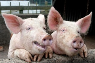Millions of pigs in America are cruely abused each year confined to gestation crates./Photo Credit: Shutterstock