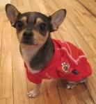 chicago blackhawks chihuahua dog fan