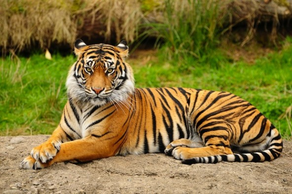 Just over a month after wandering into an Indian Zoo, a Bengal tiger has reclaimed his freedom. Photo Credit: Shuttershock