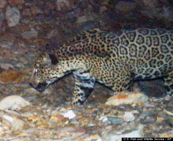 Remote camera's in southern Arizona caught the jaguar over a period of nine months. Photo Credit: U.S. Fish and Wildlife Service