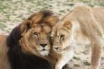 Lion Ark; Lions at Colorado Sanctuary