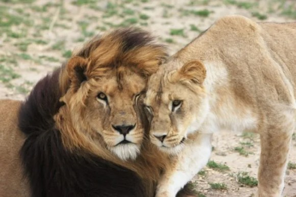 The lions' journey to Colorado is incredibly meticulous, yet equally rewarding. Photo Credit: Lion Ark