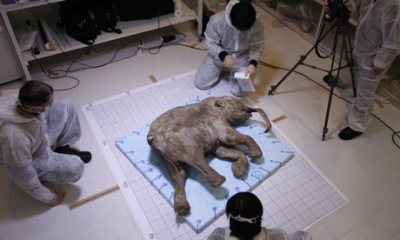 Scientists examine woolly mammoth remains. Photo credit: guardian.co.uk