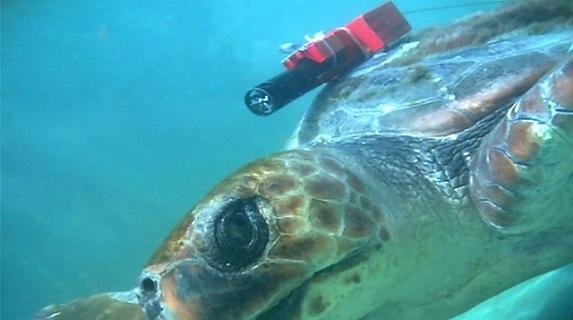 A loggerhead turtle from the study was outfitted with a 3-D logger. Photo Credit: Tomoko Narazaki, Atmosphere and Ocean Research Institute, The University of Tokyo