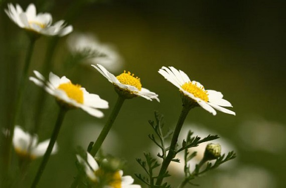 Chamomile can cause allergic reactions in cats and dogs. Photo Credit: Pikiwikisrael, Wikimedia Commons