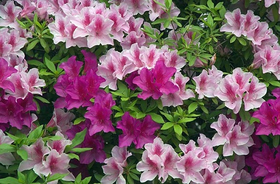 Rhododendrons can be very problematic for pets. Photo Credit: FG2, Wikimedia Commons