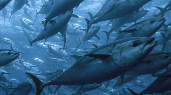The three species of bluefin tuna are in danger of extinction. Photo Credit: Getty Images
