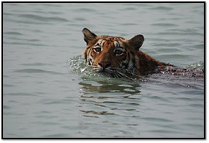A tiger swimming in the waters of the Sunderban National Park. Photo Credit: Tapas Dutta, Flickr