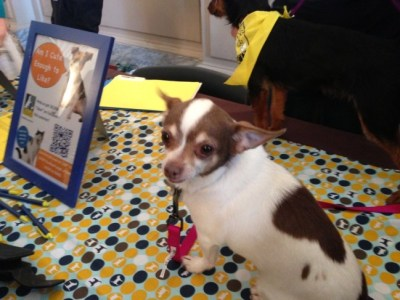 Chihuahua available for adoption at Paws For Celebration. Photo Credit: Danielle Schlanger.