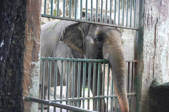 Mali lives alone at the Manilla Zoo, but a number of activits hope to change that. Photo Credit: Free Mali Facebook Page