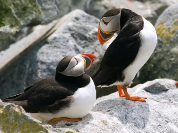 Maine's puffin population returns home, but its future may be uncertain. Photo Credit: Jon Reaves