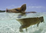 Swimming Pig Crystal Clear Water Caribbean Island