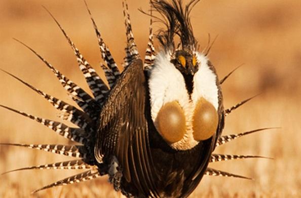 The Gunnison sage-grouse may be America's rarest bird. Photo Credit: Noppadol Paothong