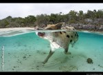 Swimming Pig Greets Visitors To Island