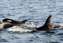 Orcas, Killer Whales, PETA, SeaWorld, Whale Sanctuaries