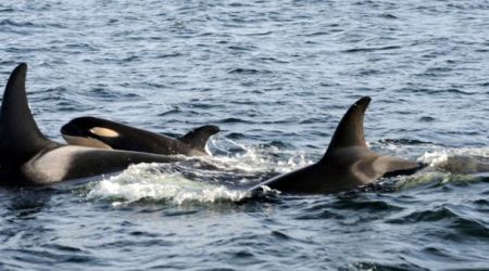 Orcas, Killer Whales, PETA, SeaWorld, Whale Sanctuaries