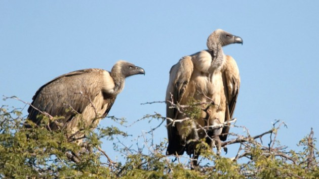 African elephant poachers are poisoning vultures in order to thwart law enforcement officials. Photo Credit: mg.co.za