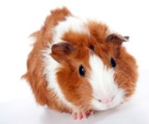 The ban proposes to stop testing on the skin of guinea pigs. Photo Credit: istockphoto