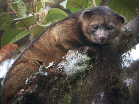 Smithsonian scientists discover a new carnivorous mammal species in the western hemisphere called the olinguito. PHOTO CREDIT: Smithsonian.com