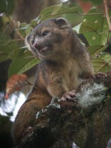 The olinguito is just the most recent mammal species to be discovered, Helgen suggests new mammals will always be there to be discovered. Photo Credit: Mark Gurney, Getty Images
