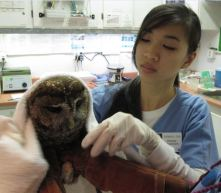 Northern Spotted Owl tested positive for rodenticides in its blood.  Photo Credit: JoLynn Taylor