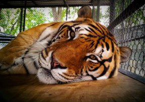 Abrams, a 12-year-old Bengal tiger, died at the sanctuary back in July from the canine distemper virus. Photo Credit: Facebook