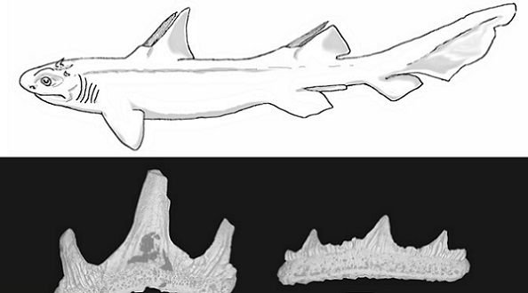 Above is a reconstruction of the Devil-Tooth shark, along with the front and rear teeth of the animal. Photo Credit: John-Paul Hodnett