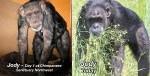 jody chimpanzee before and after photos
