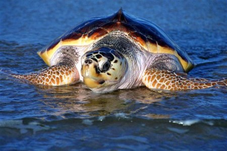 The loggerhead sea turtle is just one of the animals benefiting from military assistance. Photo Credit: National Marine Life Center