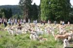 Golden Retrievers in Field